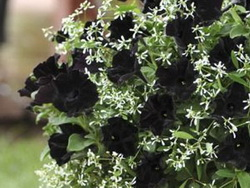 Names of Black Flowers
